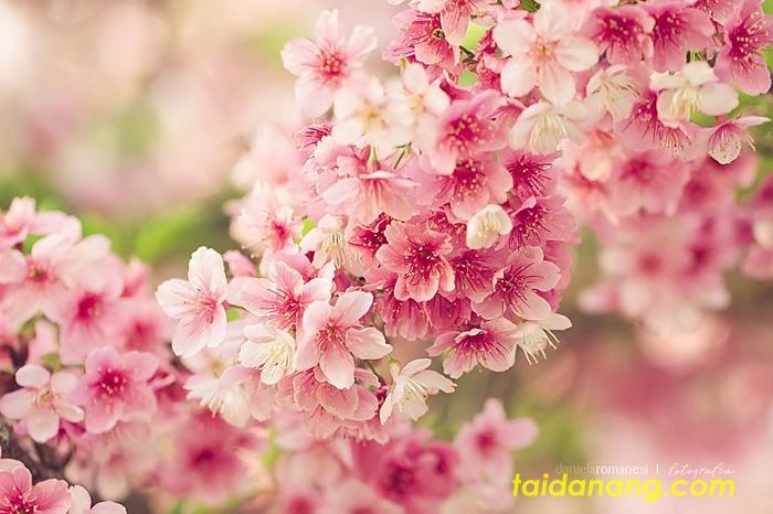 Le hoi hoa anh dao Da Nang