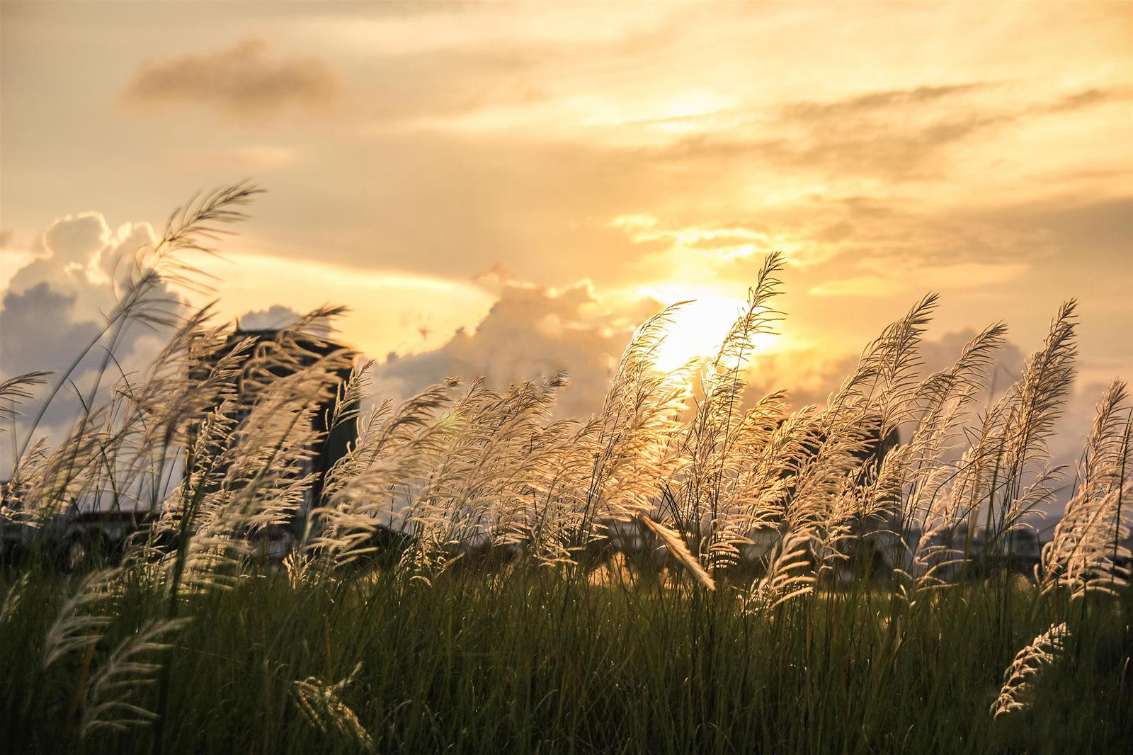 NGÂY NGẤT VỚI CÁNH ĐỒNG CỎ LAU ĐÀ NẴNG-hinh2